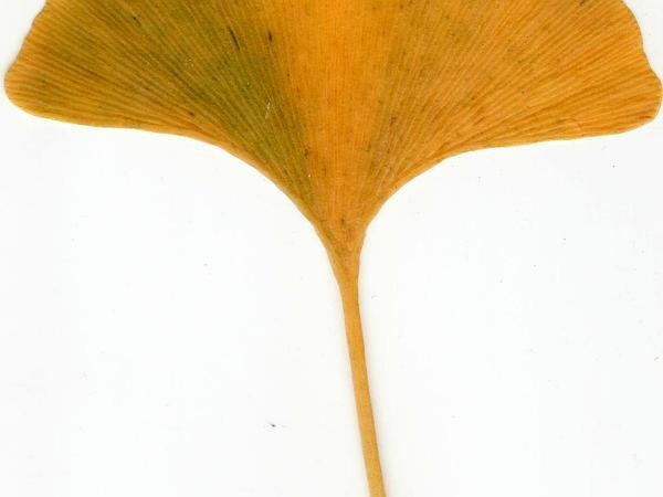 Ginkgo (Ginkgo) https://www.sagebud.com/ginkgo-ginkgo