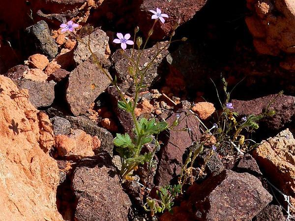 Rock Gilia (Gilia Scopulorum) https://www.sagebud.com/rock-gilia-gilia-scopulorum
