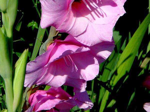 Gladiolus (Gladiolus) https://www.sagebud.com/gladiolus-gladiolus