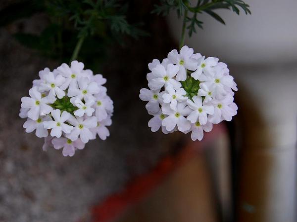 Mock Vervain (Glandularia) https://www.sagebud.com/mock-vervain-glandularia