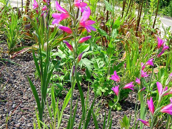 Cornflag (Gladiolus Communis) https://www.sagebud.com/cornflag-gladiolus-communis