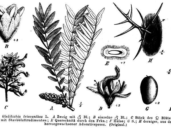 Locust (Gleditsia) https://www.sagebud.com/locust-gleditsia/