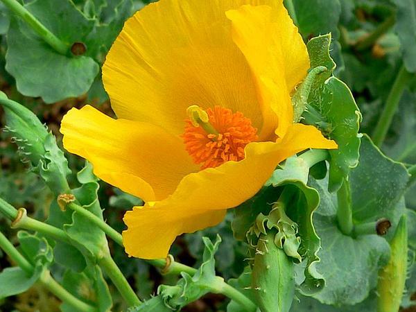 Yellow Hornpoppy (Glaucium Flavum) https://www.sagebud.com/yellow-hornpoppy-glaucium-flavum
