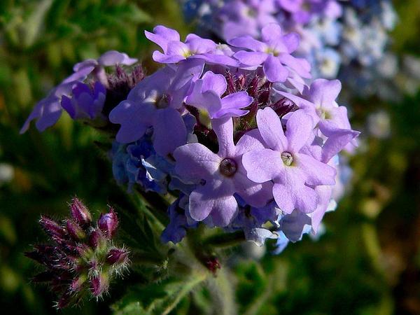 Southwestern Mock Vervain (Glandularia Gooddingii) https://www.sagebud.com/southwestern-mock-vervain-glandularia-gooddingii