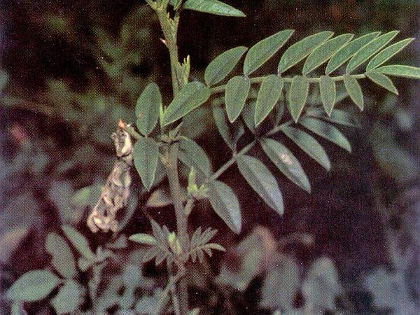 American Licorice (Glycyrrhiza Lepidota) https://www.sagebud.com/american-licorice-glycyrrhiza-lepidota/