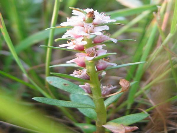 Sea Milkwort (Glaux Maritima) https://www.sagebud.com/sea-milkwort-glaux-maritima