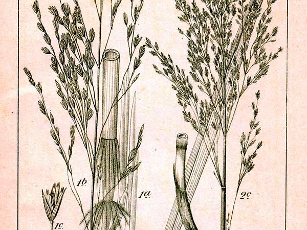 Reed Mannagrass (Glyceria Maxima) https://www.sagebud.com/reed-mannagrass-glyceria-maxima