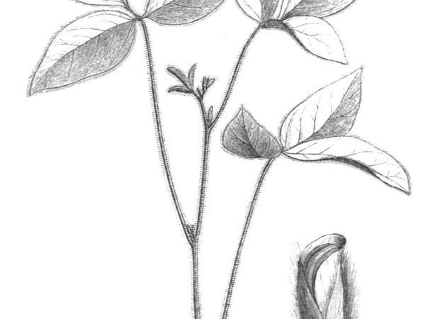 Soybean (Glycine Max) https://www.sagebud.com/soybean-glycine-max