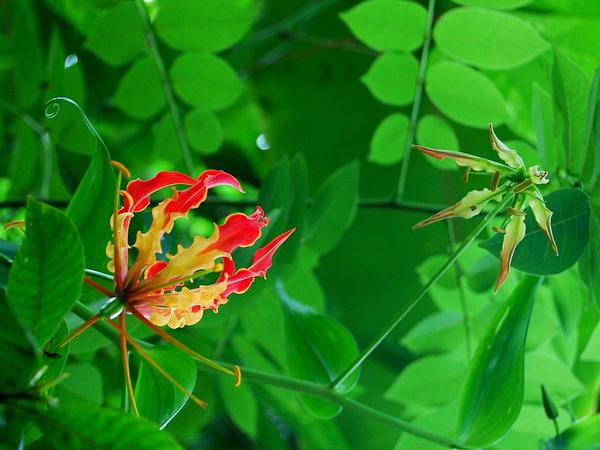 Flame Lily (Gloriosa) https://www.sagebud.com/flame-lily-gloriosa