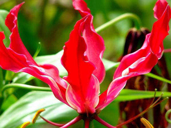 Flame Lily (Gloriosa Superba) https://www.sagebud.com/flame-lily-gloriosa-superba
