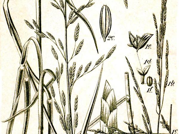 Mannagrass (Glyceria) https://www.sagebud.com/mannagrass-glyceria
