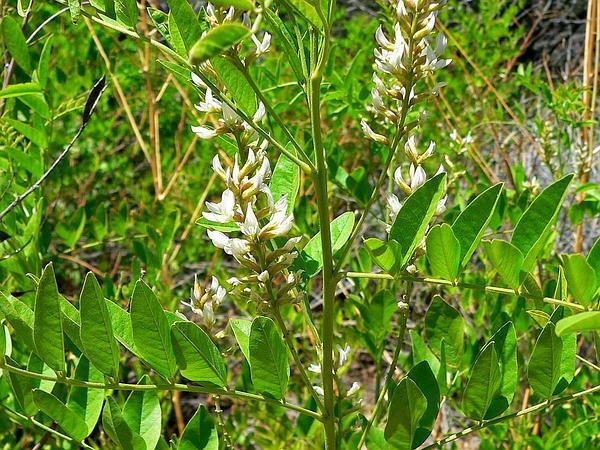 Licorice (Glycyrrhiza) https://www.sagebud.com/licorice-glycyrrhiza