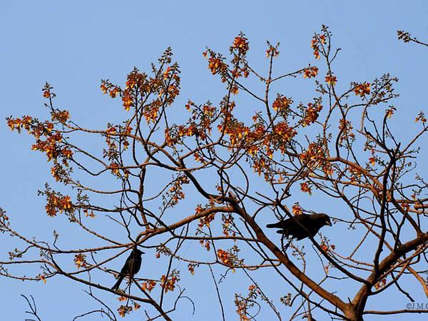 Gumhar (Gmelina Arborea) https://www.sagebud.com/gumhar-gmelina-arborea