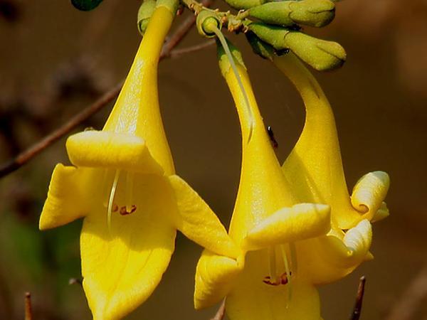 Asian Bushbeech (Gmelina Asiatica) https://www.sagebud.com/asian-bushbeech-gmelina-asiatica/