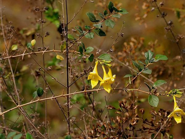 Gmelina (Gmelina) https://www.sagebud.com/gmelina-gmelina