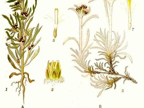 Marsh Cudweed (Gnaphalium Uliginosum) https://www.sagebud.com/marsh-cudweed-gnaphalium-uliginosum/