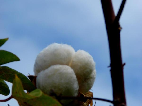 Creole Cotton (Gossypium Barbadense) https://www.sagebud.com/creole-cotton-gossypium-barbadense