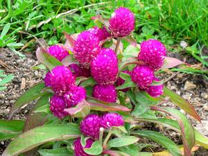 Common Globe Amaranth