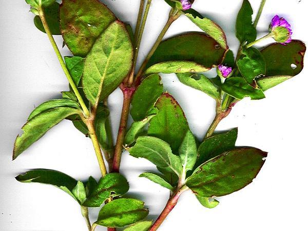 Common Globe Amaranth (Gomphrena Globosa) https://www.sagebud.com/common-globe-amaranth-gomphrena-globosa