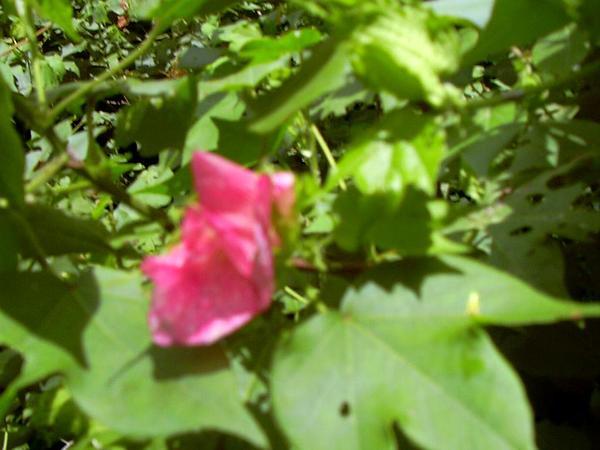 Upland Cotton (Gossypium Hirsutum) https://www.sagebud.com/upland-cotton-gossypium-hirsutum