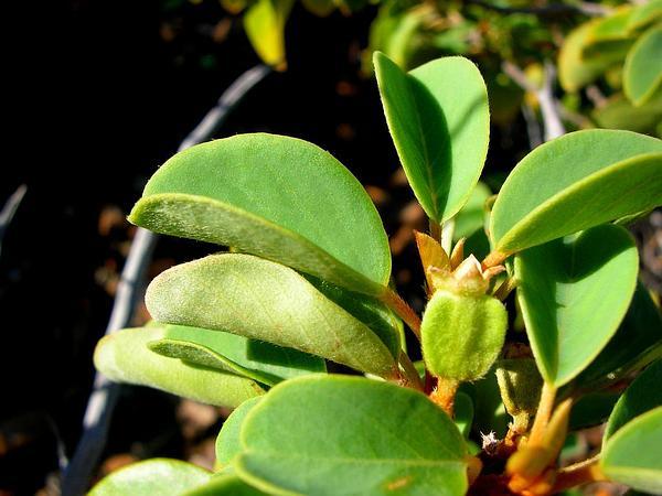 Hairyfruit Chewstick (Gouania Hillebrandii) https://www.sagebud.com/hairyfruit-chewstick-gouania-hillebrandii