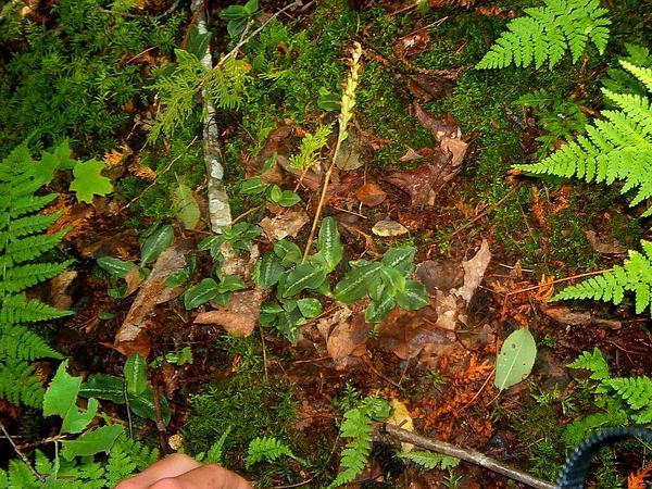 Western Rattlesnake Plantain (Goodyera Oblongifolia) https://www.sagebud.com/western-rattlesnake-plantain-goodyera-oblongifolia