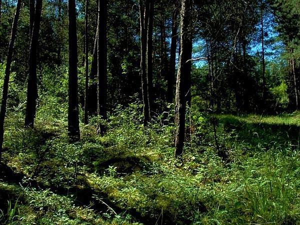 Rattlesnake Plantain (Goodyera) https://www.sagebud.com/rattlesnake-plantain-goodyera