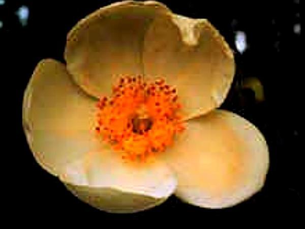 Gordonia (Gordonia) https://www.sagebud.com/gordonia-gordonia