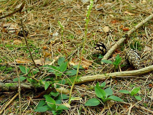 Lesser Rattlesnake Plantain (Goodyera Repens) https://www.sagebud.com/lesser-rattlesnake-plantain-goodyera-repens