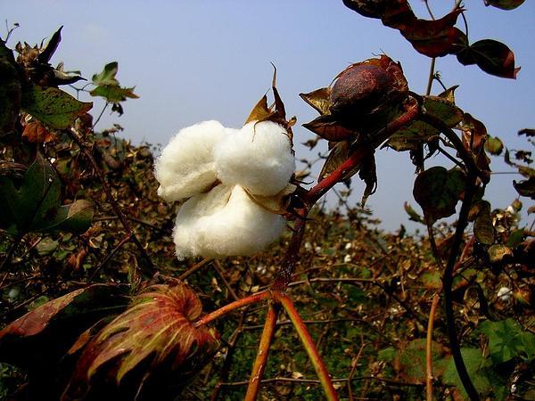 Cotton (Gossypium) https://www.sagebud.com/cotton-gossypium