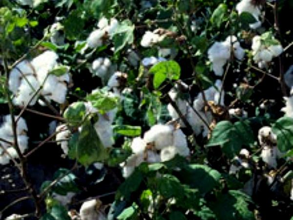 Cotton (Gossypium) https://www.sagebud.com/cotton-gossypium