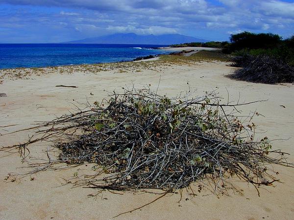 Hawai'Ian Cotton (Gossypium Tomentosum) https://www.sagebud.com/hawaiian-cotton-gossypium-tomentosum