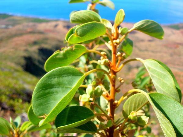 Chewstick (Gouania) https://www.sagebud.com/chewstick-gouania