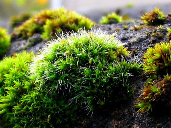 Grimmia Dry Rock Moss (Grimmia) https://www.sagebud.com/grimmia-dry-rock-moss-grimmia/
