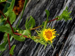 Puget Sound Gumweed
