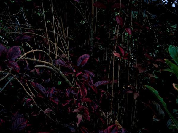 Caricature-Plant (Graptophyllum Pictum) https://www.sagebud.com/caricature-plant-graptophyllum-pictum/