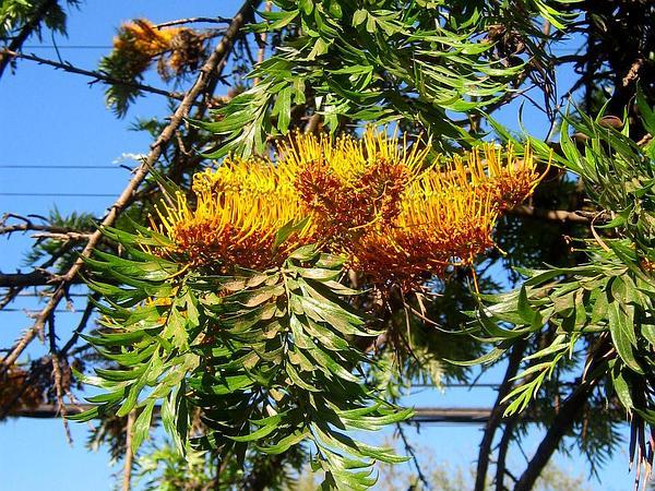 Silkoak (Grevillea Robusta) https://www.sagebud.com/silkoak-grevillea-robusta/