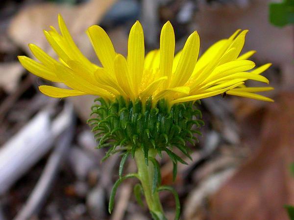 Oregon Gumweed (Grindelia Stricta) https://www.sagebud.com/oregon-gumweed-grindelia-stricta