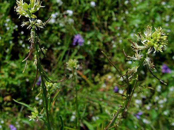 California Mustard (Guillenia Lasiophylla) https://www.sagebud.com/california-mustard-guillenia-lasiophylla/