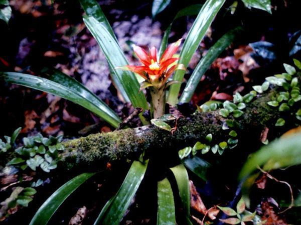 Droophead Tufted Airplant (Guzmania Lingulata) https://www.sagebud.com/droophead-tufted-airplant-guzmania-lingulata
