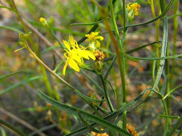 Snakeweed (Gutierrezia) https://www.sagebud.com/snakeweed-gutierrezia