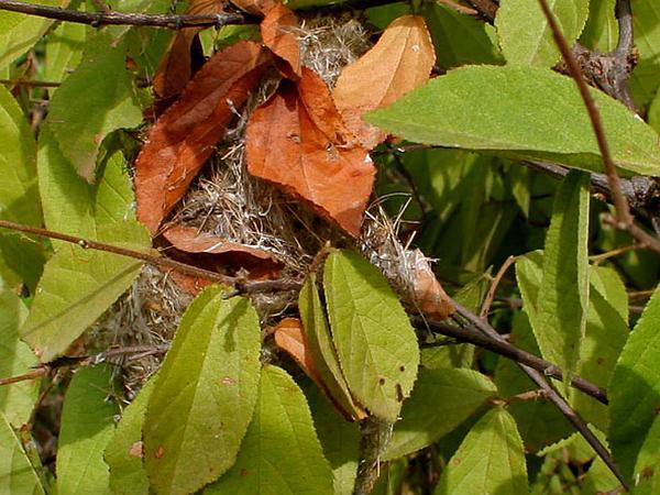 Bastardcedar (Guazuma Ulmifolia) https://www.sagebud.com/bastardcedar-guazuma-ulmifolia/