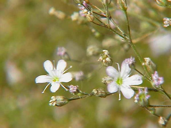 Sharpleaf Baby's-Breath (Gypsophila Acutifolia) https://www.sagebud.com/sharpleaf-babys-breath-gypsophila-acutifolia