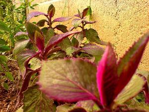 Velvetplant