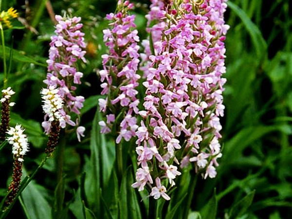 Fragrant Orchid (Gymnadenia Conopsea) https://www.sagebud.com/fragrant-orchid-gymnadenia-conopsea