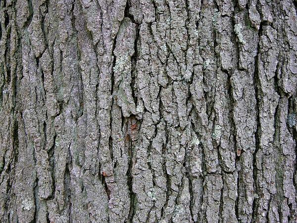 Kentucky Coffeetree (Gymnocladus Dioicus) https://www.sagebud.com/kentucky-coffeetree-gymnocladus-dioicus
