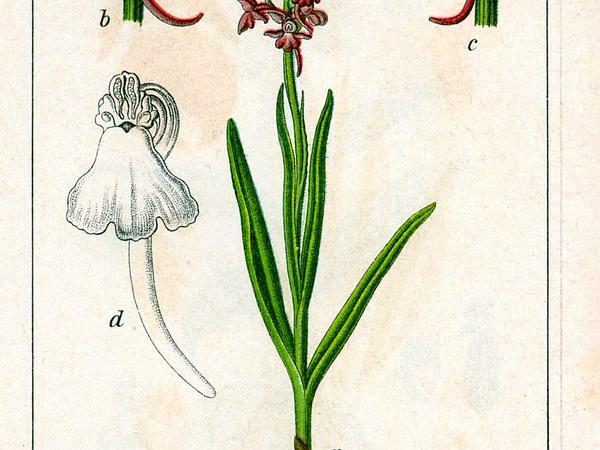 Gymnadenia (Gymnadenia) https://www.sagebud.com/gymnadenia-gymnadenia