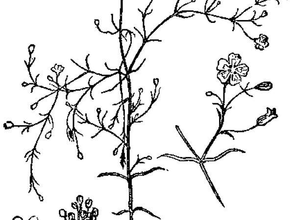 Low Baby's-Breath (Gypsophila Muralis) https://www.sagebud.com/low-babys-breath-gypsophila-muralis