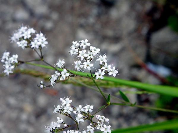 Oldham's Baby's-Breath (Gypsophila Oldhamiana) https://www.sagebud.com/oldhams-babys-breath-gypsophila-oldhamiana/