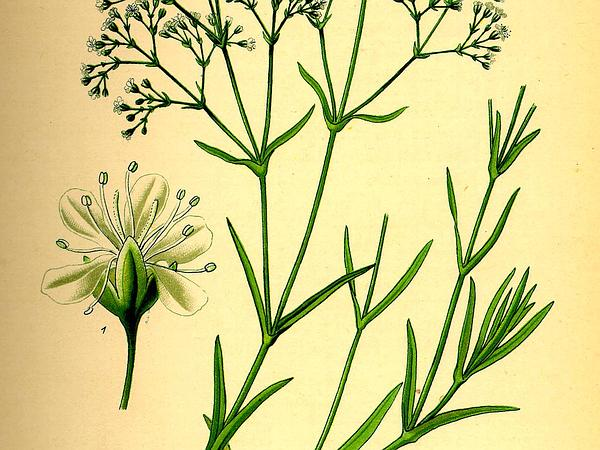 Baby's Breath (Gypsophila Paniculata) https://www.sagebud.com/babys-breath-gypsophila-paniculata/